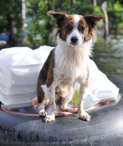 A wet dog on a floatation device with a bag of supplies on a flooded street.